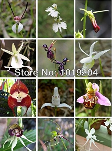worlds-rare-orchids-20-seed-pack-mixed-color-orchids-potted-orchids