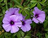 Ipomoea cairica - morning glory - 10 seeds