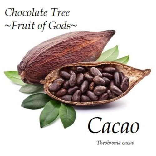 ~Theobroma Cacao~ Cocoa Chocolate Tree Tropical Fruit Plant sml POTTED starter by 7_heads