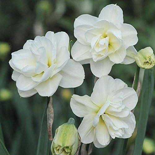 100 PC / paquete siembra Narciso flor del narciso de semillas Plantas Bonsai pétalos dobles absorción de radiación en maceta de plantas del jardín de DIY 14: Amazon.es: Jardín