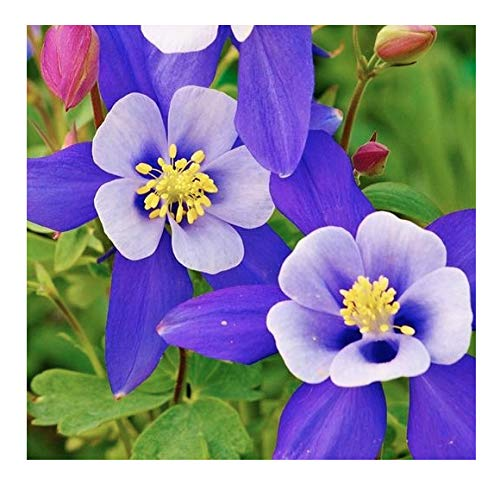 (2800 Blue Star Columbine Seeds - A Favorite Perennial Wildflower and State Flower of)