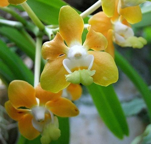 Vanda Orchid Plant - 3
