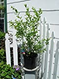 Green Promise Farms Vaccinium corymbosum 'Bluecrop' (HighBush Blueberry) Edible-Shrub, 2 - Size Container