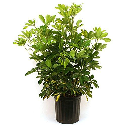 indoor bush plants - 4