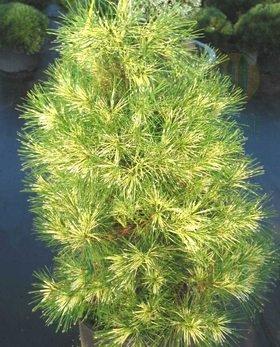 Umbrella Pine Tree - Golden Ghost Japanese Red Pine 3 - Year Graft
