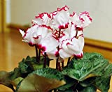 Mr.seeds The Red, White Cyclamen flower seeds perennial flowering cyclamen plant seeds for DIY home and garden - 100 pieces.