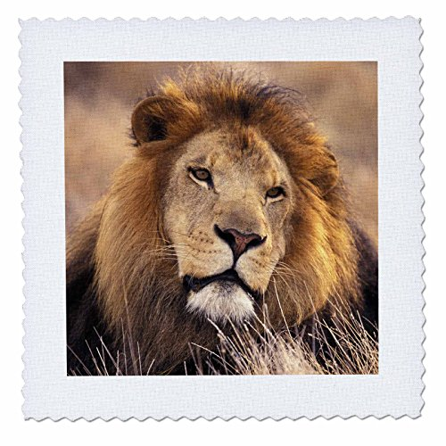 3dRose qs_84670_1 Africa. Male African Lion (Panthera leo) - NA02 SWE0030 - Stuart Westmorland - Quilt Square, 10 by (African Lion Panthera Leo)