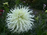 "Cactus dahlia ""tsuki yori no shisha"" ( 2 Tuber ) Giant Flowers,Great Cut Flower"