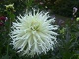 "Cactus dahlia ""tsuki yori no shisha"" ( 2 Tuber ) Giant Flowers,Great Cut Flower"