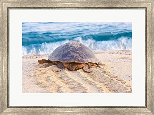 Loggerhead Turtle, Nagata, Kagoshima, Yakushima, Japan by Rob Tilley/Danita Delimont Framed Art Print Wall Picture, Silver Scoop Frame, 30 x 22 inches