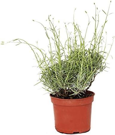 Outlet Garden - Lavanda - Lavandula. Planta Aromática, Altura: 30 Centimetros Aproximado, Contenedor: 14 Cm. Envios Solo Peninsula: Amazon.es: Jardín