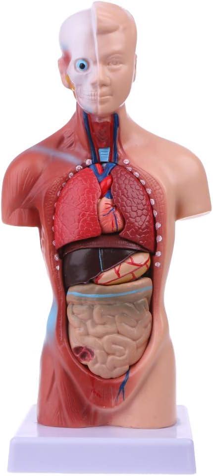 Junlinto, Cuerpo Humano del Cuerpo del Torso Anatomía Anatómica Médica Órganos internos para la enseñanza
