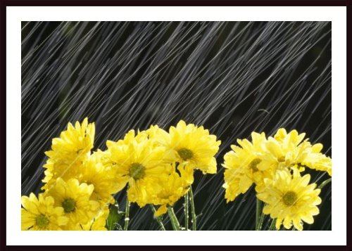 Printfinders Raining on Yellow Daisies Art Print by Craig Tuttle (Daisies Raining)
