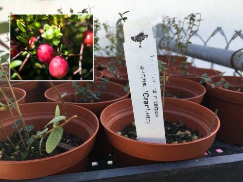 Cranberry Bush - 'Stevens' LIVE Cranberry Plant - Vaccinium macrocarpon Cranberry Bush