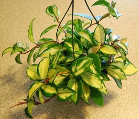 Amazoncom Hoya Carnosa Variagated Beautiful Bloom Tropical Wax