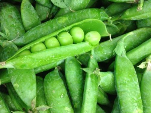 Sugar Snap Peas 7.5 LB seeds Premium Cool Season Vining Var.!