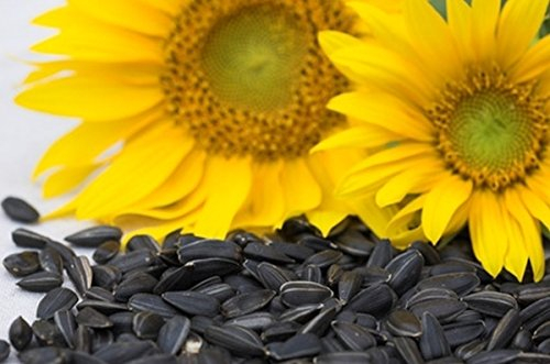 Peredovik Sunflower Seeds - The birds love these seeds!!! Great for wildlife!!(200 - Seeds) - Large Striped Sunflower Seeds