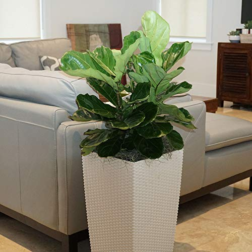 United Nursery Ficus Lyrata Tree Live One Stem Indoor Plant Fiddle-Leaf Fig 32'' Shipping Size Fresh in Grower 9.25'' Pot from Our Florida Farm by United Nursery (Image #2)