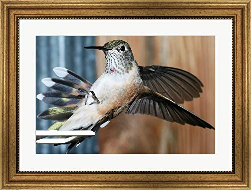 Feeder Gold Hummingbird (Broad-Tailed Hummingbird Female Landing at Feeder Framed Art Print Wall Picture, Wide Gold Frame, 26 x 20 inches)