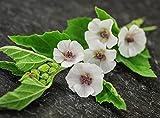 Seeds Marsh Mallow (Althaea officinalis) Medicinal Herbs Organic Ukraine