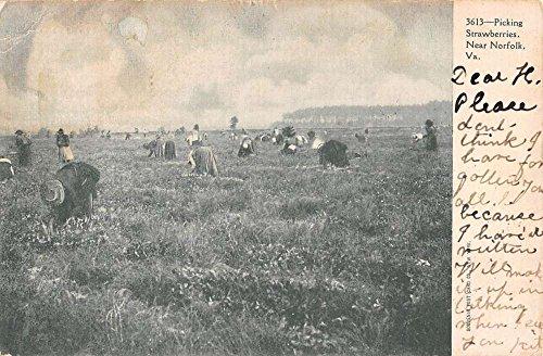 (Norfolk Virginia Picking Strawberries Scene Antique Postcard K56985)