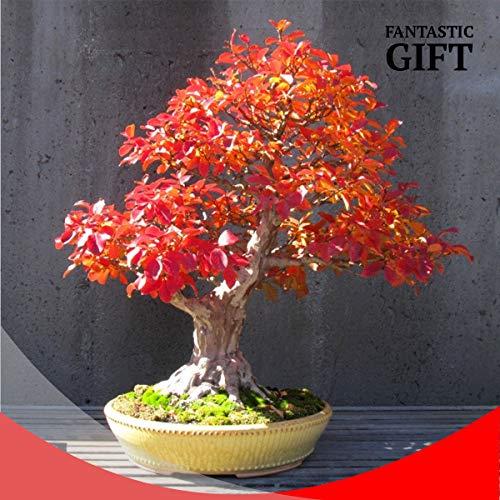 (red Oak Dwarf Tree Seeds Mini Bonsai Plant Exotic Rare Fruits Garden Decor Gift)