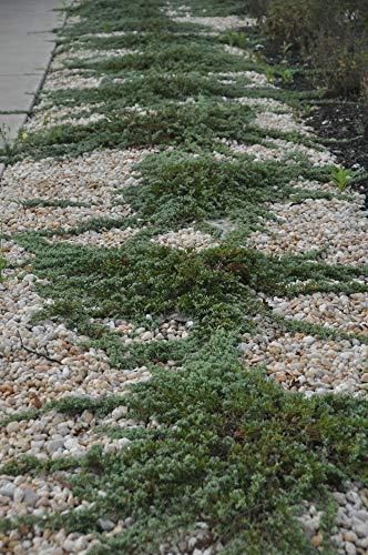 Sandys Nursery Online Juniper Blue Rug Ground Cover ~Lot of 30~4 inch Pot by Sandys Nursery Online (Image #4)