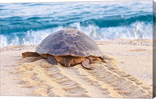 Loggerhead Turtle, Nagata, Kagoshima, Yakushima, Japan by Rob Tilley/Danita Delimont Canvas Art Wall Picture, Gallery Wrap, 22 x 14 inches