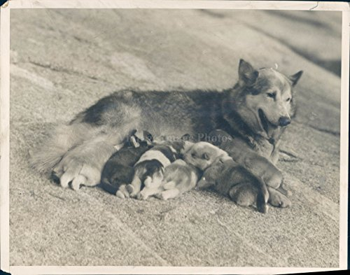 1924 Photo Eskimo Dog Ward Cute Puppies Animals Outside Feeding Mother