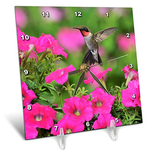 3dRose Danita Delimont - Hummingbirds - Ruby-Throated Hummingbird Male Feeding on Petunias, Texas, USA. - 6x6 Desk Clock (dc_315059_1)