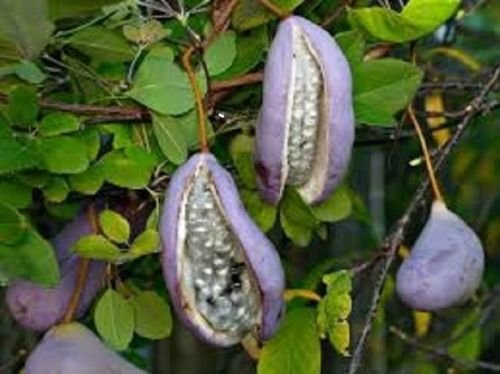 AKEBIA QUINATA - Chocolate Vine - Starter Plant by Lovely Garden (Image #2)