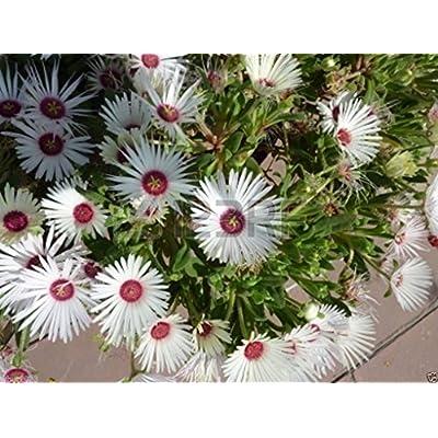 500 Livingstone Daisy a.K.a Ice Plant Seeds-Great for perennial flower garden. : Garden & Outdoor