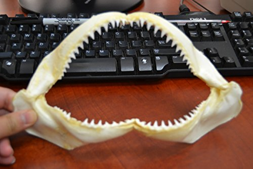Real Black Tip Shark Teeth Tooth Jaw Mouth Craft 10