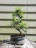 Sageretia Sweet Plum Bonsai Tree Flowers GREAT GIFT!