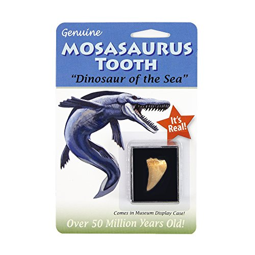 (One) Authentic 95 Million Year Old Mosasaurus Dinosaur Tooth Fossil (Dinosaur Teeth Fossils)