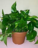 Golden Pothos Plant in a Six Inch Decorative Pot with Free Organic Fertilizer