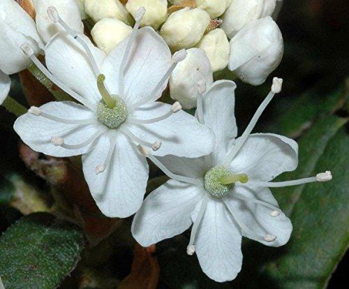 Labrador Tea Plant - Ledum groenlandicum - 3.25