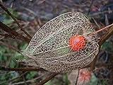 50 Seeds of Japanese Lantern / Physalis alkekengi franchetii