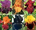 """LOT 10 FRESH SPROUTED MIXED BEARDED IRIS RHIZOME BULBS """"Party Explosion""""!"""