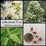Portal Cool 20+ Lemon Myrtle Seeds (Backhousia Citriodora) Australian Native Essential Oil