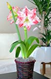 Named for the Greek goddess of love and beauty, Aphrodite is a gorgeous double amaryllis, with a blush pink wash on the petal tips, blood red veining and a razor-edge red border. Big blooms flaunt multiple swept-back petals for a very full, o...