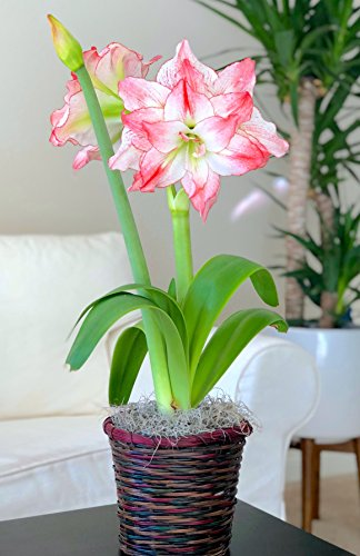 Amaryllis Gift Aphrodite in a Multicolored Vine Basket - Pre-Planted - Potted Amaryllis Bulbs Gift | Ships from Easy to Grow TM