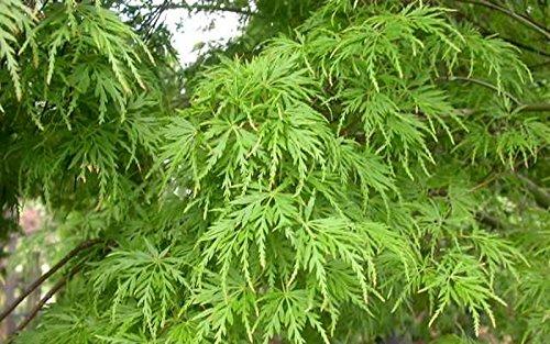 Green Lace Japanese Maple - New Life Nursery & Garden / - Seiryu Upright Laceleaf Japanese Maple Tree Trade Gallon Pot Trade Gallon Pot