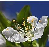 Prunus Avium WILD CHERRY sweet exotic edible tropical fruit cereza seed 10 SEED