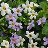 Bacopa Flower Garden Seeds - Utopia Series - Snowtopia - 100 Seeds - Annual Flower Gardening Seeds