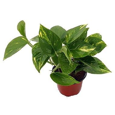 Hirt's Golden Devil's Ivy - Pothos - Epipremnum - 4  Pot - Very Easy to Grow