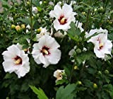 1 XLarge White Hardy Hibiscus syriacus Rose of Sharon Rooted Live starterplant NHKM14