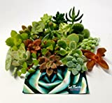 Fat Plants San Diego 15 Miniature Fairy Garden Succulent Cuttings