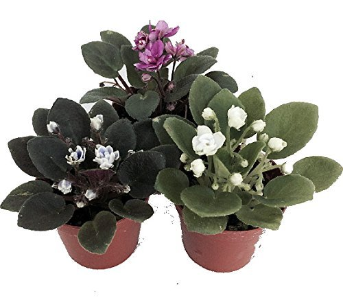 miniature-african-violet-3-plants-2-pot-great-for-terrariums-fairy-gardens-unique-from-jmbamboo