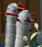 * Cleistocactus Strausii * Silver Wooly Torch * 10 Cactus Seeds * RARE Succulent
